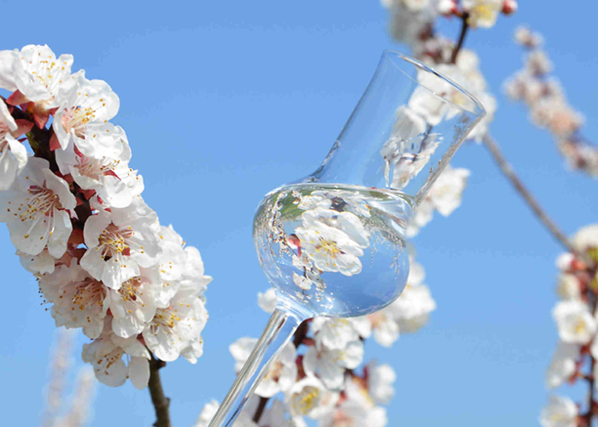 Abb. eines Degustierglases vor einem Zweig mit Marillenblüten